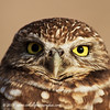 Burrowing Owl - Arizona
