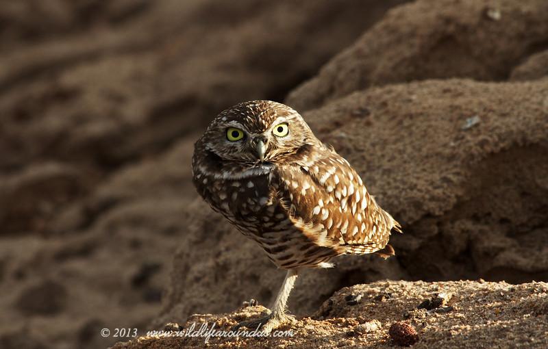Burrowing Owl, Yuma Arizona