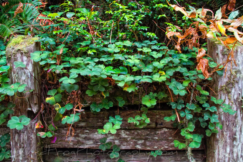 Redwood Sorrel growing on the side of the Damnation Creek Trail