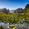 Lily pads at Lagoon Creek - Yurok Loop trail near False Klamath Cove