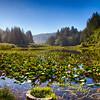 Lily pads at Lagoon Creek - Yurok Loop trail near False Klamath Cove