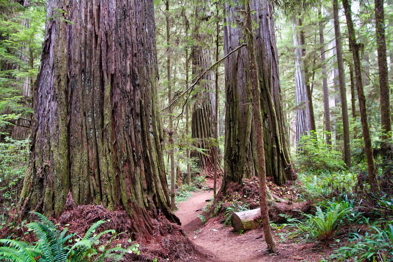 hiking trail through the Redwood Trees - Boy Scout Trail