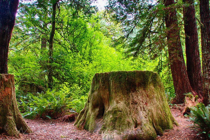 Old Redwood Tree Stump at Mill Creek Camping Ground