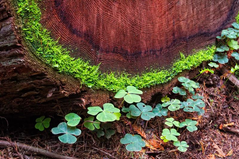 Redwood Sorrel (Oxalis oregana) at the base of fallen Tree