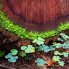 Redwood Sorrel (Oxalis oregana) at the base of fallen Tree