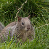 One very fat Ground Squirrel living at Battery Point in Crescent City - CA