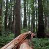 Fallen tree on the Stout Grove Walk Jedediah Smith Redwoods State Park