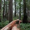 Fallen tree on the Stout Grove Walk Jedediah Smith Redwoods State Park