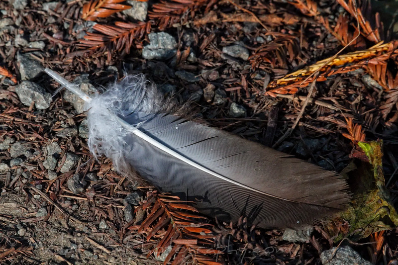 Bird feather laying on the ground