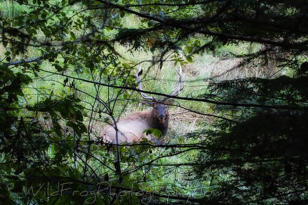 Bull Elk resting in grass