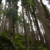 Redwoods on the Damnation Creek Trail