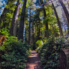 Walking through the Redwoods on a sunny California day - Redwood National Park.