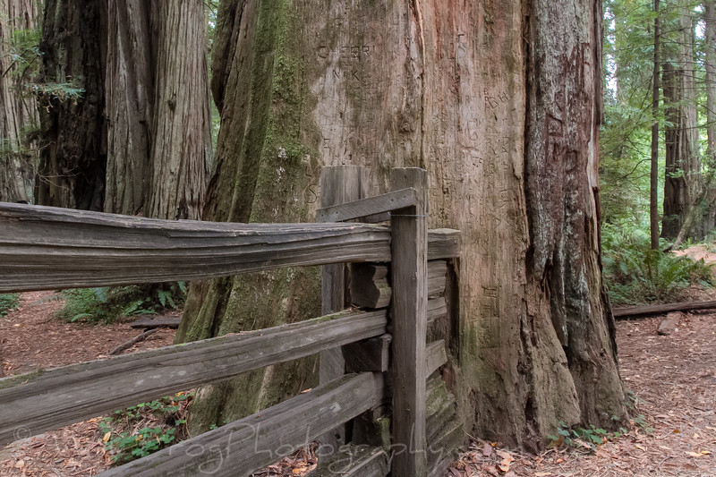 Old fence going into Redwood Tree