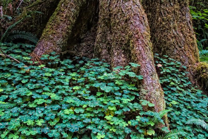 Redwood Sorrel (Oxalis oregana) at the base of a Redwood Tree - Boy Scout Trail