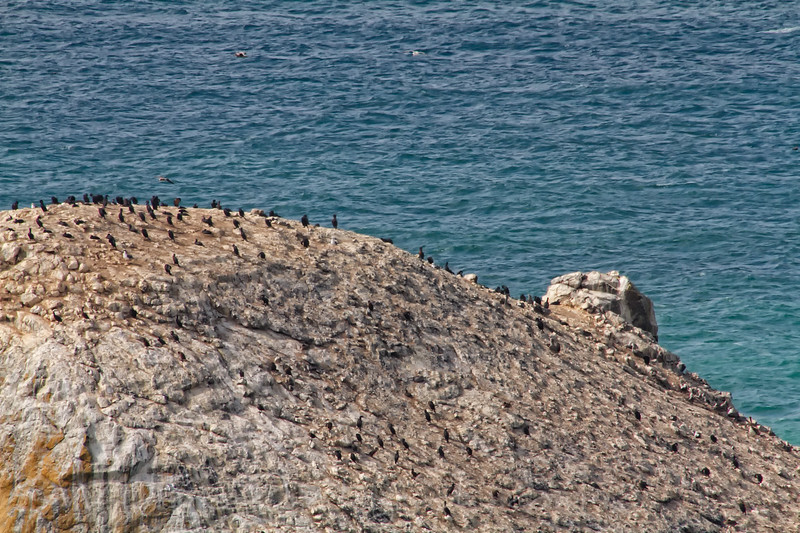 Cormorants resting on large a rock - seen from Coastal Drive near Klamath - CA