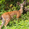 Young Deer feeding on side of Coastal Drive Road near Klamath
