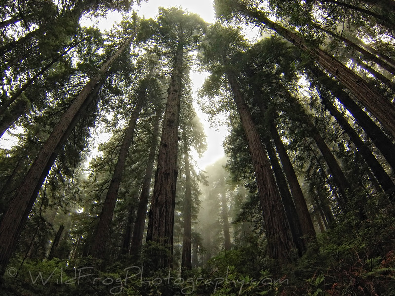 Misty morning in the Redwoods - hiking the Damnation Creek trail