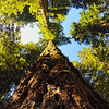 Looking up the trunk of a Redwood tree - Lady Bird Johnson Grove