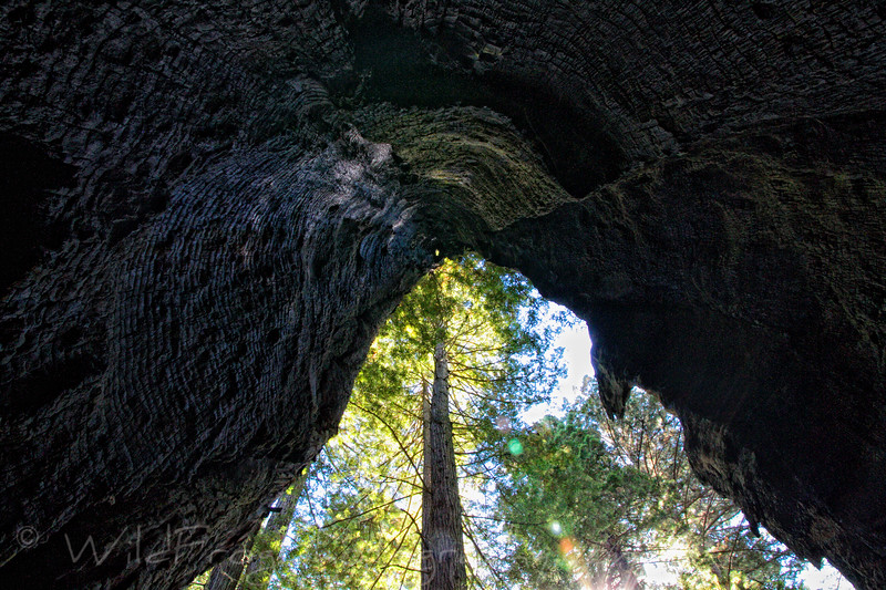 Looking Up - Inside a burnt out Redwood tree - Elk Prairie camping ground