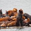 Seals in the Harbor at Crescent City - CA