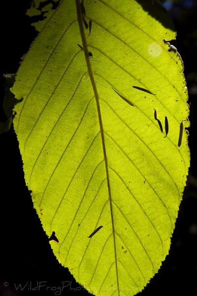 Sunlight filtering through a leaf