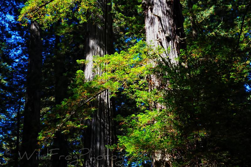 Redwoods on the lady Bird Johnson Grove Trail
