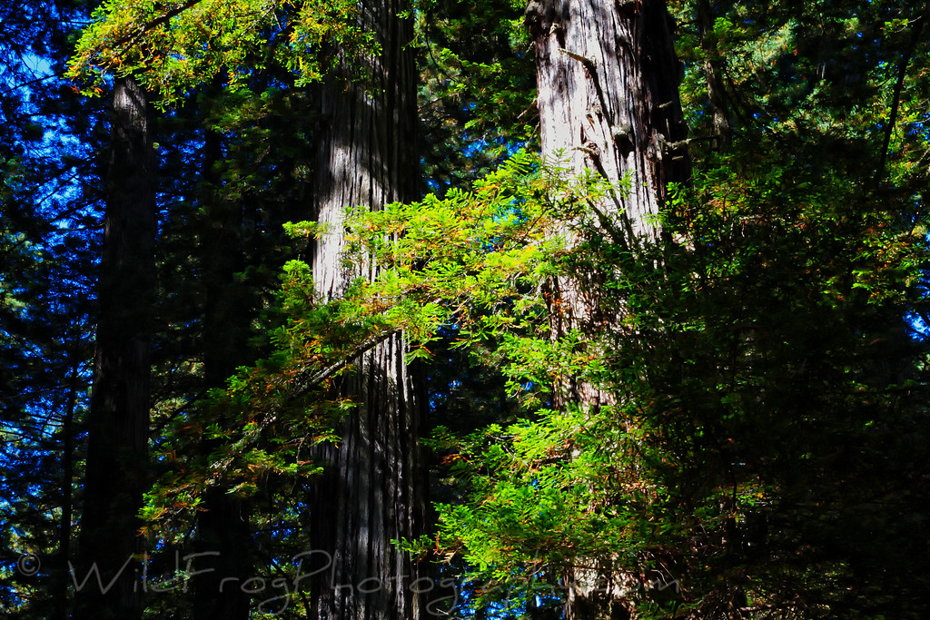 Redwoods on the lady Bird Johnson Grove Trail