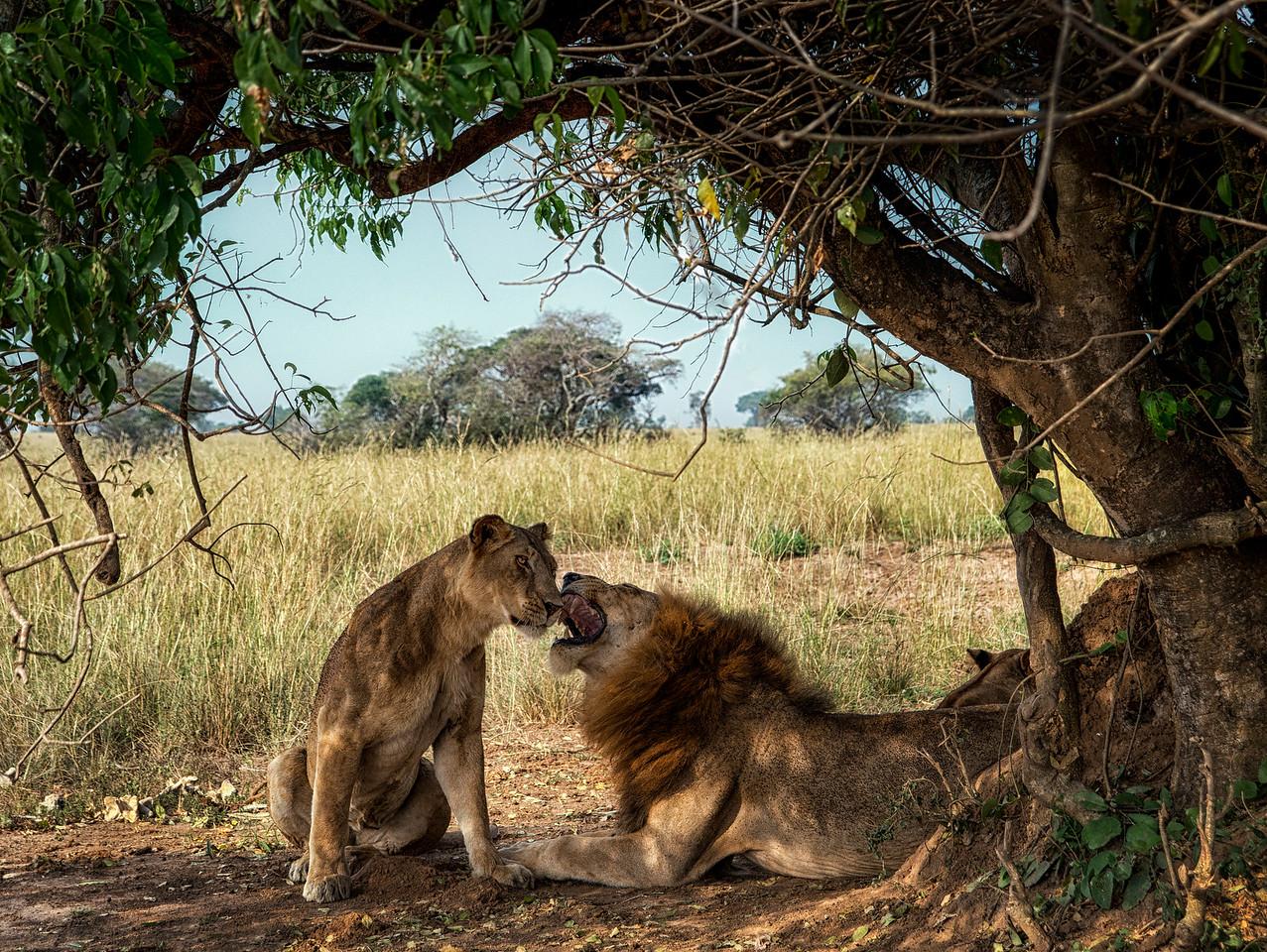 Pride of lions in Murchisons national Park, Uganda,2016.