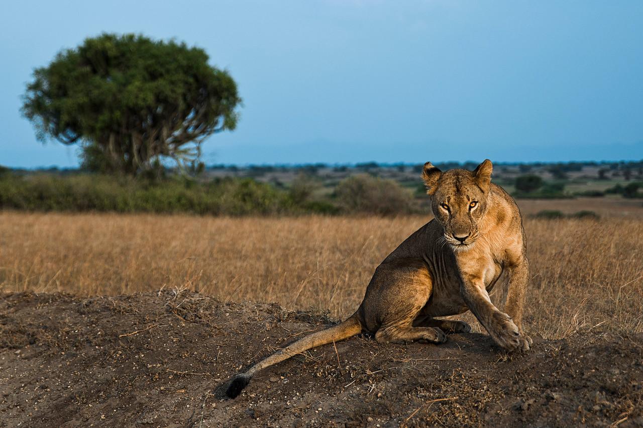 Lioness in the Queen Elizabeth National Park, Uganda, 2016.