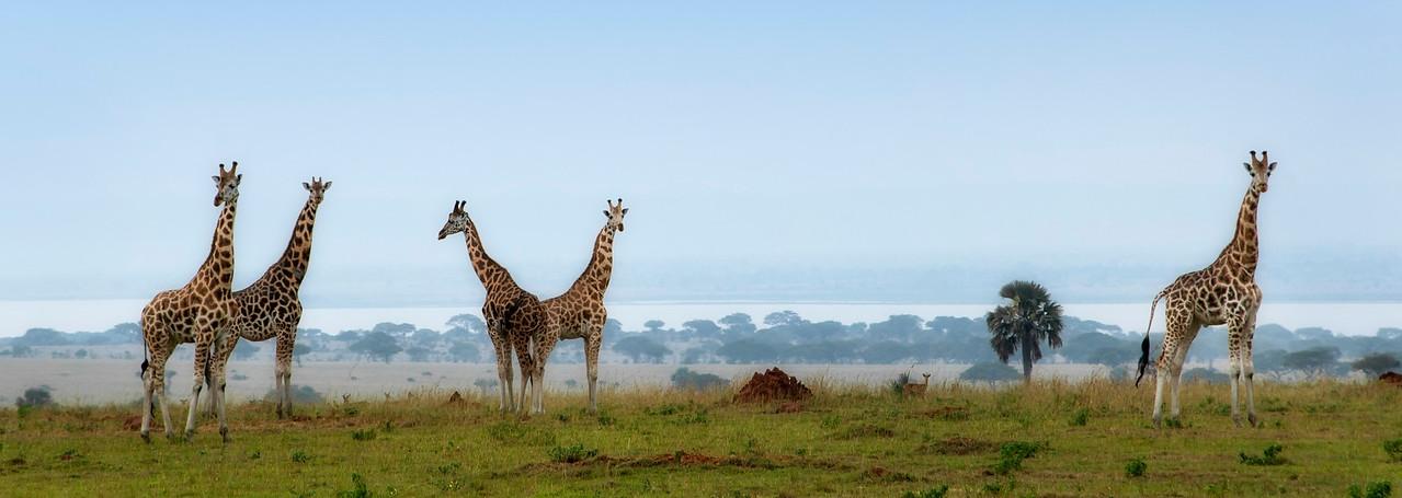 Giraffes at Murchisons National Park, lake Albert in the background.<br /> <br /> uganda, 2016.