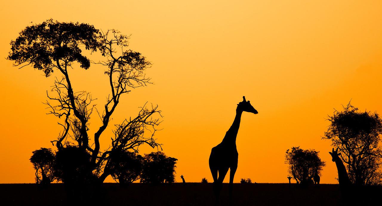 Silhouette of Giraffes in  Murchisons National Park, Uganda, 2016.