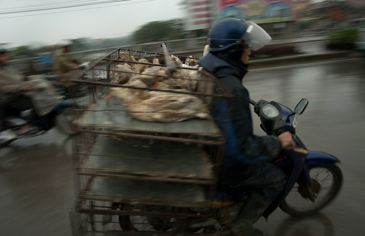 Transporting ducks.<br /> <br /> Saigon, Vietnam, 2008