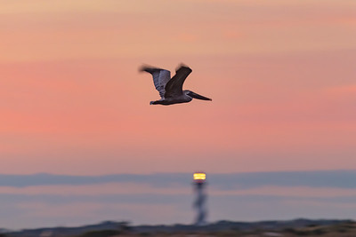 Sunrise Pelican Over The Lighthouse
