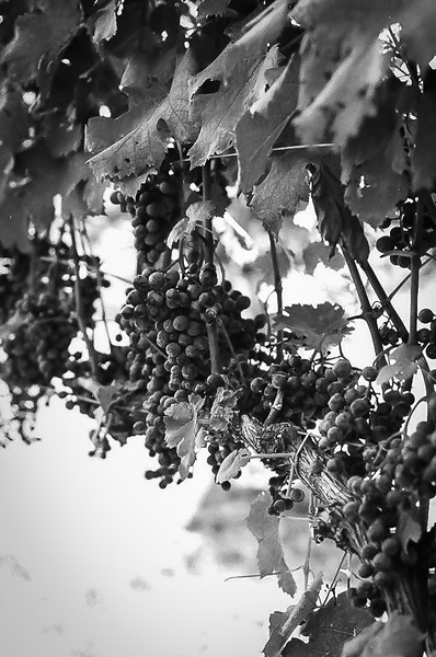 Grapes at Sunset Hills Vineyard. Kodak Tri-X. 2014.