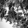 Grapes at Sunset Hills Vineyard. Kodak Tri-X. 2014.