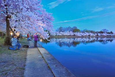 Cherry Blossoms at Dawn-Washington, DC