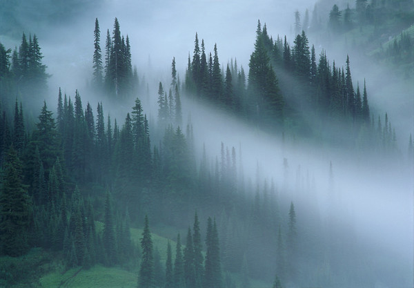 Subalpine Firs on Mount Rainier