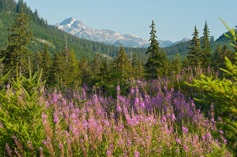 Wildflowers in the Brandywine Valley, Whistler, BC 1