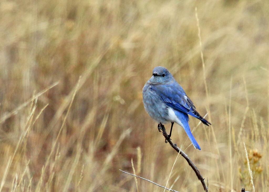Mountain Bluebird, Lamar Valley