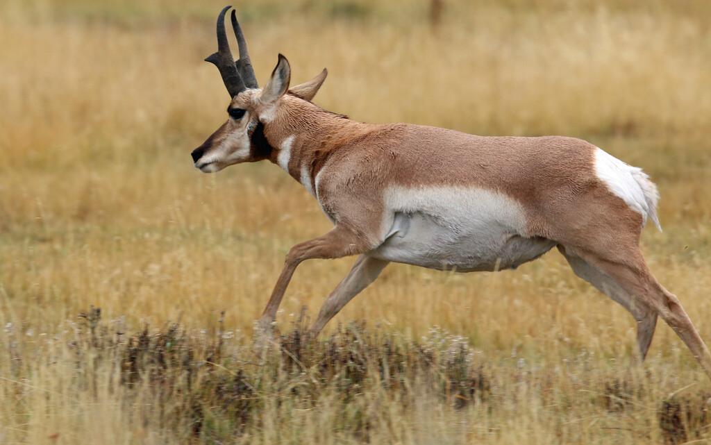 Pronghorn Antelope, Lamar Valley