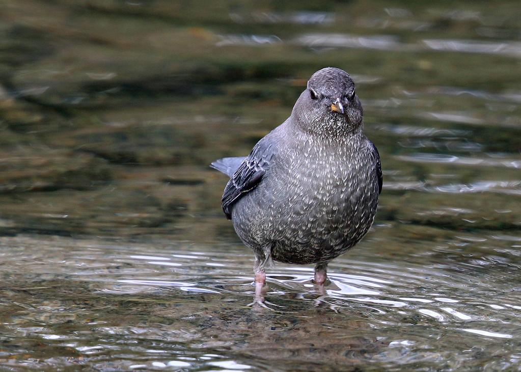 American Dipper, Slough Creek