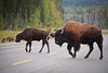 Herd of Bison (Bison bison) on a roadside, Yukon, Canada.