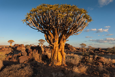 Quivertree Forest Park III