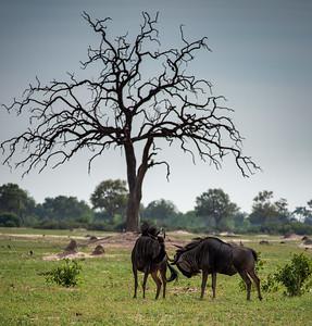 Gnu Antelopes, Hwange