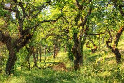 Oakwood near Senanque