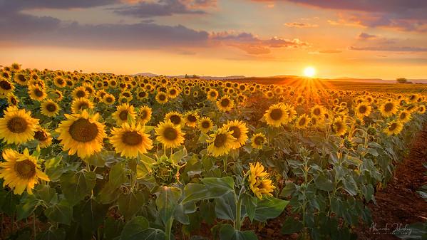 Sunflowers near Valensole