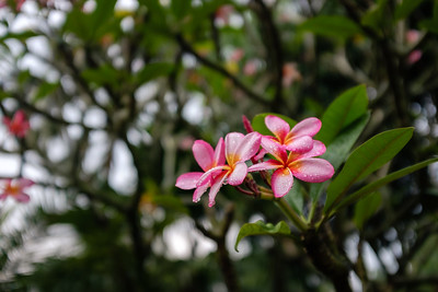 Bright pink and orange frangipani after a tropical rain