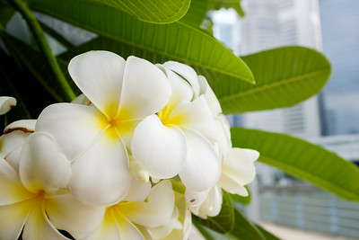 Frangipani flowers in Clarke Quay, Singapore.