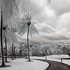 Infrared photo of palm trees in Singapore's Botanical Gardens.