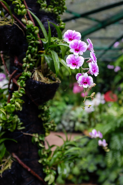 Bright pink and white orchids in Singapore's Botanical Gardens